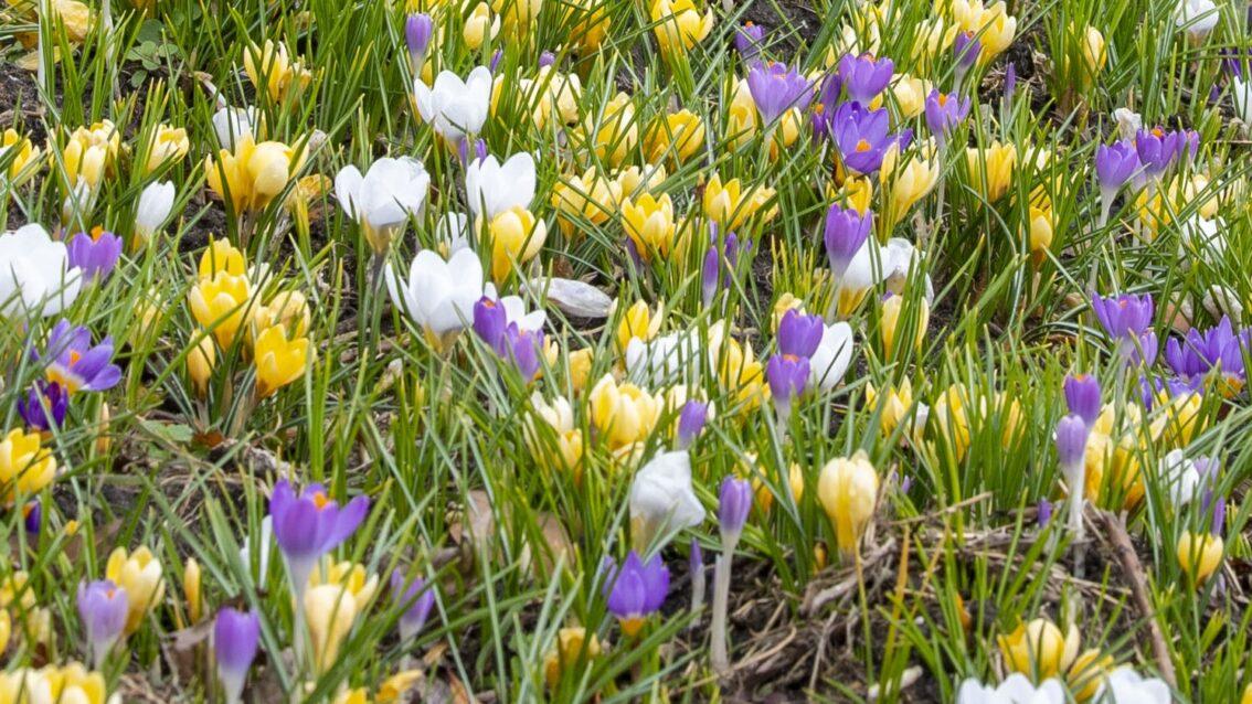 150.000 biologische bloembollen bloeien in Rotterdam